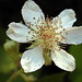 Himalayan Blackberry - Photo (c) Dawn Endico, some rights reserved (CC BY-SA)