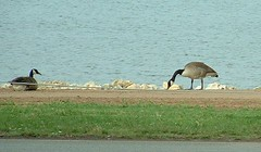 Geese by the Lake