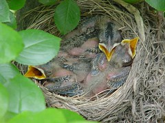 Baby robins - day 7