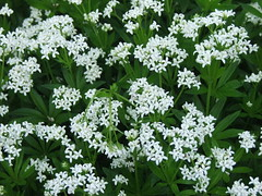 iberis sempervirens(0.0), cow parsley(0.0), candytuft(0.0), cicely(0.0), anthriscus(0.0), hesperis matronalis(0.0), caraway(0.0), apiales(1.0), flower(1.0), plant(1.0), galium odoratum(1.0), herb(1.0),