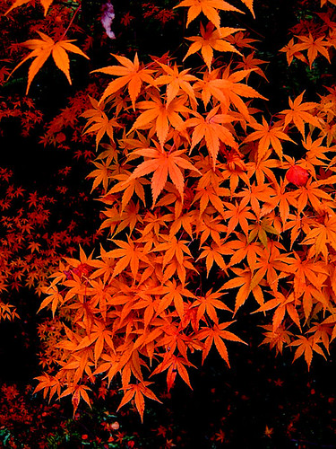 Maple burning bright