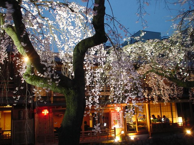 Cherry blossoms at Gion, Kyoto