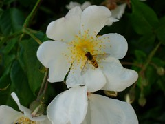 flower, plant, rosa rubiginosa, flora, rosa multiflora, rosa pimpinellifolia, petal,