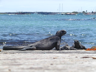 iguana of sea on a warf on Santa Cruz Island