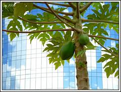 papaya, branch, tree, fruit,