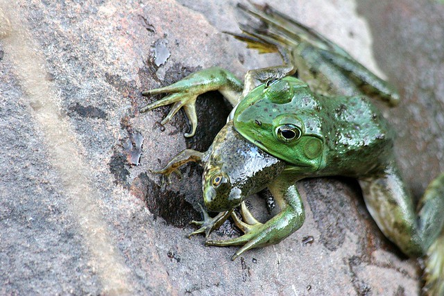 It's a frog eat frog world | Really, this is a frog eating ...