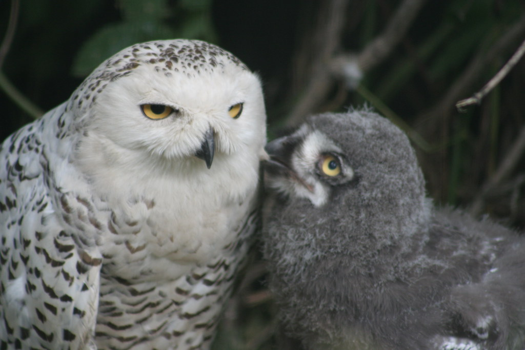 Snowy Owl Female and Owlet