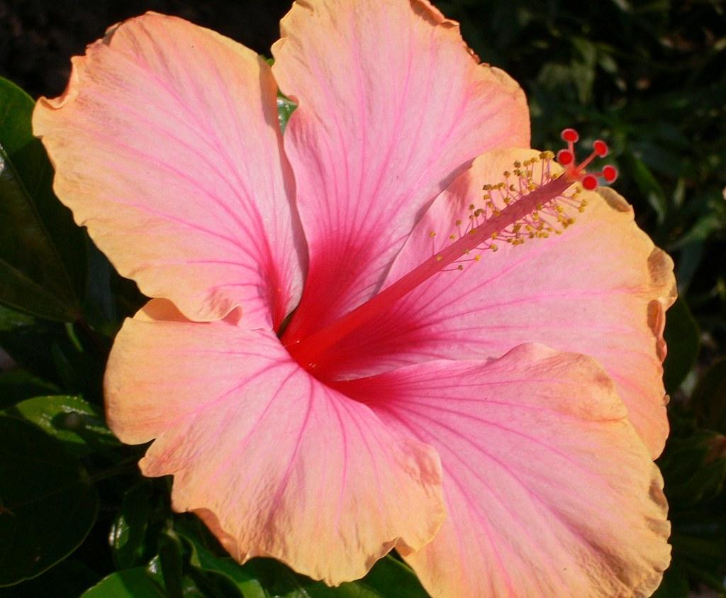 Fiori Hibiscus.Hibiscus Tricolore Hibiscus Rosa Sinensis Linn Family Ma Flickr