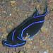Blue Velvet Headshield Slug - Photo (c) Steve Childs, some rights reserved (CC BY)