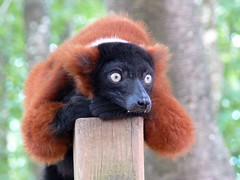 gibbon(0.0), red panda(0.0), primate(0.0), new world monkey(0.0), ape(0.0), wildlife(0.0), animal(1.0), mammal(1.0), fauna(1.0), lemur(1.0),