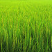 rice paddy; Nara, Japan by xopherlance