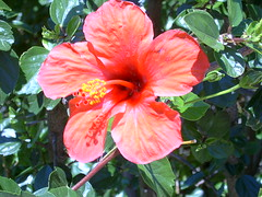 flower, plant, malvales, flora, chinese hibiscus,
