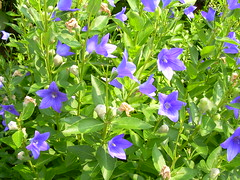 annual plant(1.0), flower(1.0), plant(1.0), harebell(1.0), wildflower(1.0), flora(1.0),