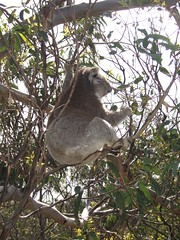 animal(1.0), branch(1.0), mammal(1.0), koala(1.0), fauna(1.0), jungle(1.0), wildlife(1.0),