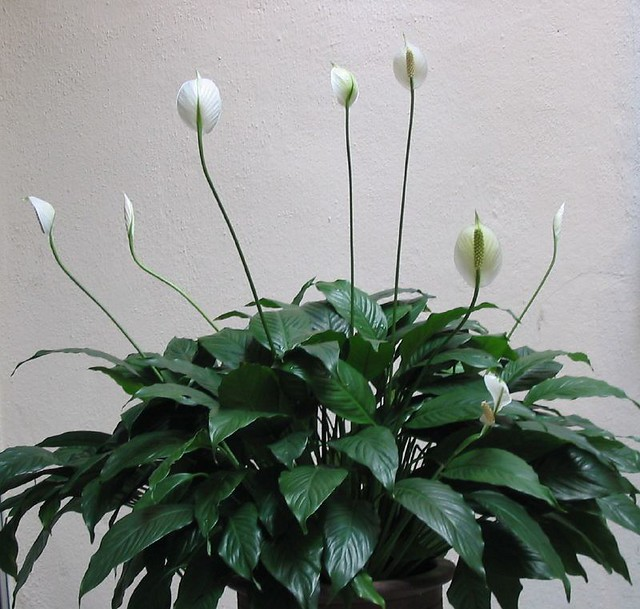 Peace Flags of Spathiphyllum Wallisii