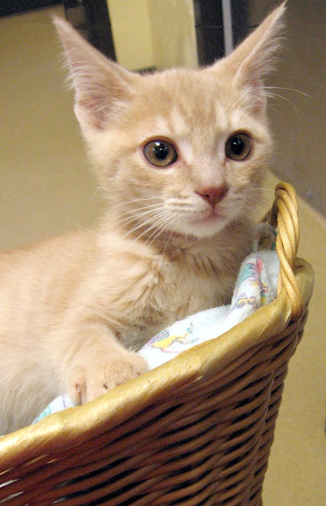 Creamy Tabby Boy Kitten in a Basket