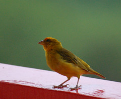 atlantic canary, animal, ortolan bunting, perching bird, canary, yellow, wing, fauna, house finch, emberizidae, beak, bird,