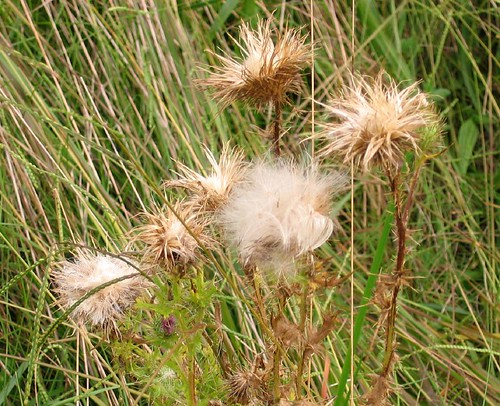 Nodding thistle, Carduus nutans
