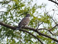 Oriental turtle-dove (キジバト)