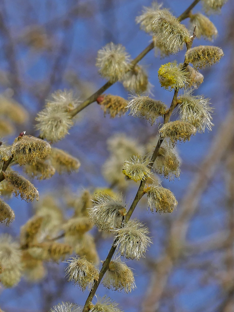 Fleurs de Saule... 26283452737_7cd1e6e5bf_b