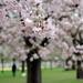 Sakura im Schwetzinger Schlossgarten
