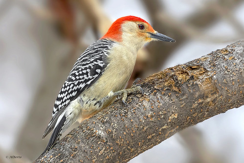 Red-bellied Woodpecker / Pic à ventre roux