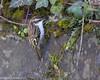 Eurasian Treecreeper/Snag (Certhia familiaris britannica)