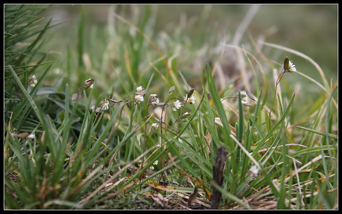 Erophila verna (= Draba verna) - drave printanière 27557686598_89d8156326