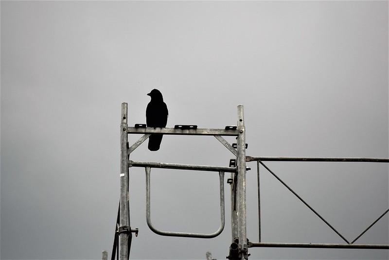 Crow 12.06 (5)