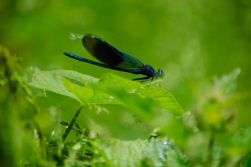 Banded demoiselle (Calopteryx splendens), male