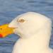 Pacific Gull  Larus pacificus