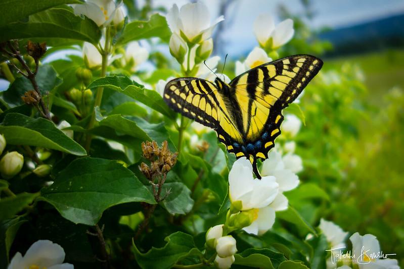 Swallowtail butterfly #3