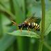 Figwort Sawfly --- Tenthredo scrophulariae