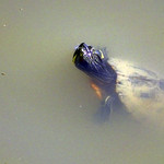 Nadant