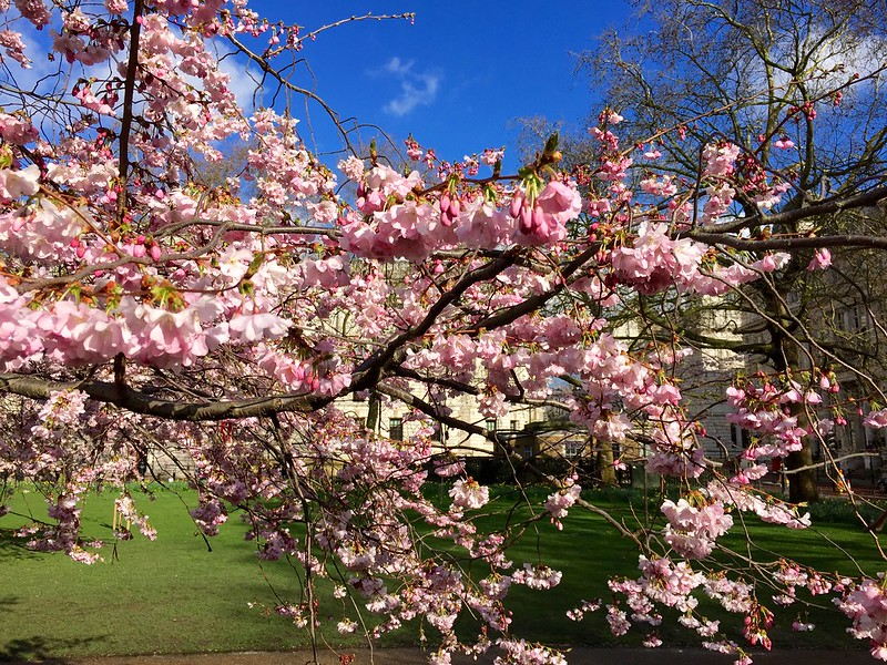 2018 St James's Park cherry blossom