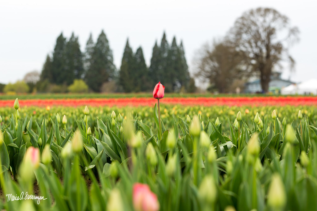 Woodburn Tulip-9014