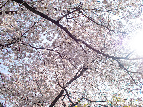 Cherry blossoms 20180403 #03