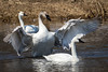 Trumpeter Swan Harassing Tundra Swan