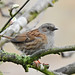 Dunnock in the tree.