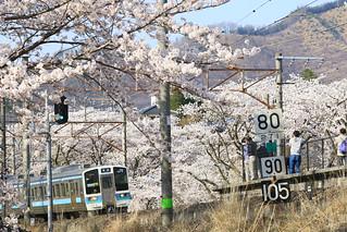 勝沼ぶどう郷の桜と 211系 普通列車