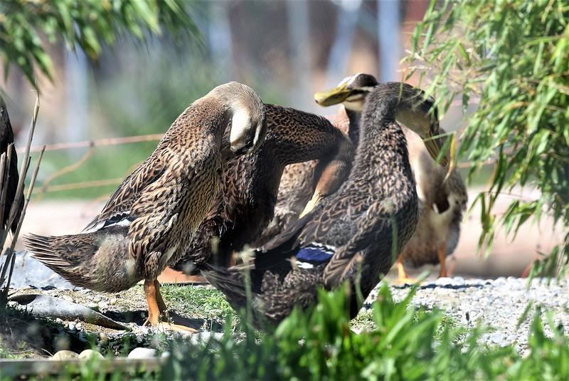 Ducks 22 (7)