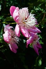Bledlow House & Garden - Buckinghamshire