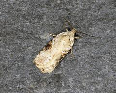 32.031 Brown-spot Flat-body - Agonopterix alstromeriana