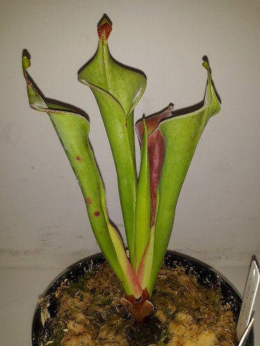 Heliamphora tatei; AUSCPS Canberra meeting
