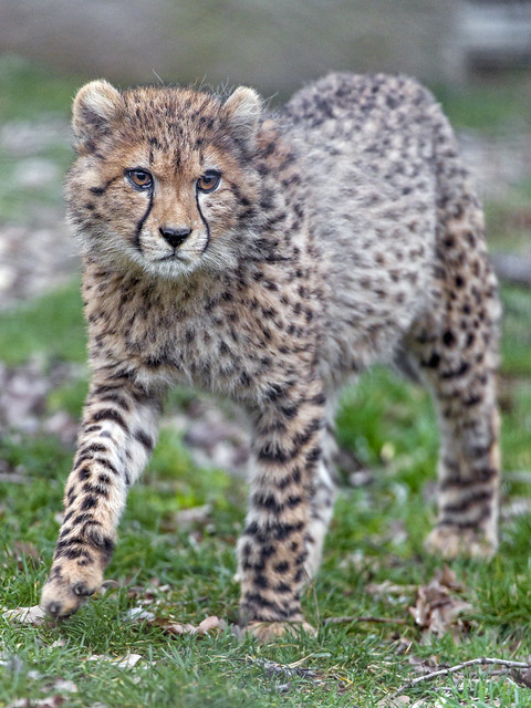 Young cheetah walking in the grass