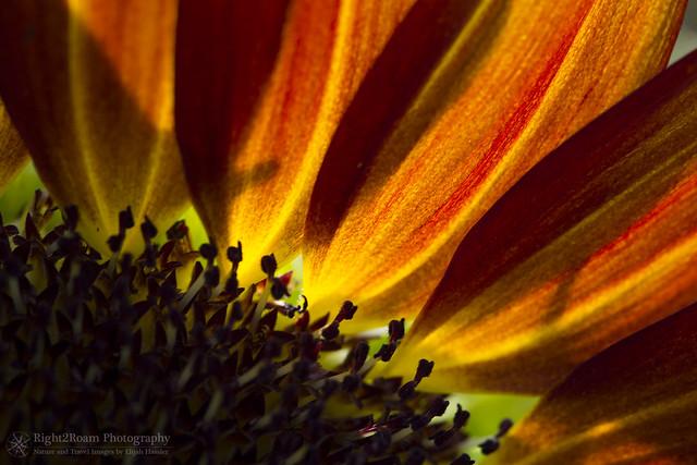 Sunflowers for Sunday