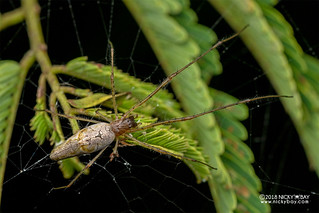 Big-jawed spider (Tetragnatha sp.) - DSC_2608