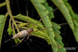 Big-jawed spider (Tetragnatha sp.) - DSC_2608