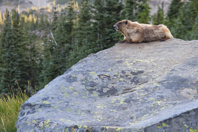 photo of Olympic marmot
