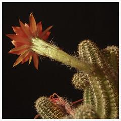 Cactus #4 2018; Chamaecereus sivestrii